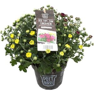 "Chrysantheme in bilolog. abbaubarem Topf ""Pottburri®"" Topf-Ø ca. 13 cm"