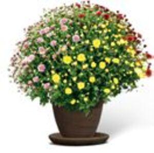 Chrysanthemen-Busch