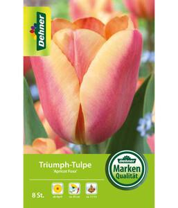 Dehner Blumenzwiebel Triumph-Tulpe 'Apricot Foxx'