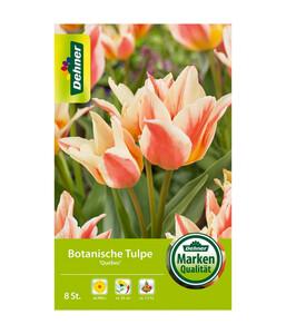 Dehner Blumenzwiebel Botanische Tulpe 'Quebec'