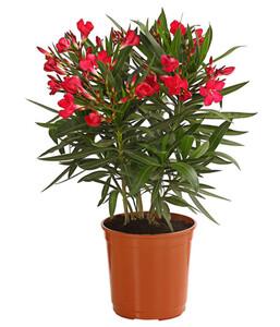 Oleander, Busch