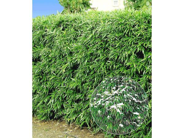 Winterharte Bambus-Hecke, 10 Pflanzen, Fargesia murielae Simba