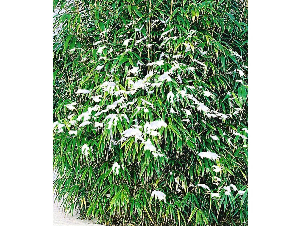 Bild 2 von Winterharte Bambus-Hecke, 10 Pflanzen, Fargesia murielae Simba