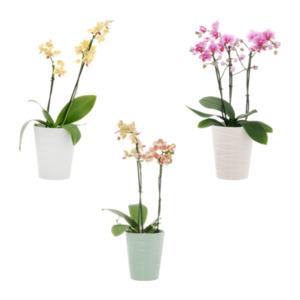 GARDEN FEELINGS     Orchidee (Phalaenopsis multiflora)