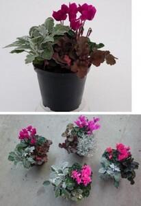 Herbstmix Alpenveilchen mit weiteren Pflanzen ,  14 cm Topf