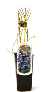 Obststrauch Heidelbeere ,  2 l Eckcontainer