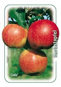 Apfelbaum Gala ,  7,5 l Container