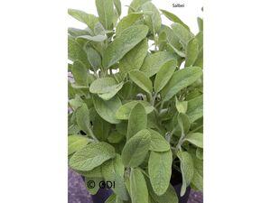 Salbei, 2 Pflanzen