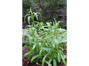 Estragon, 2 Pflanzen