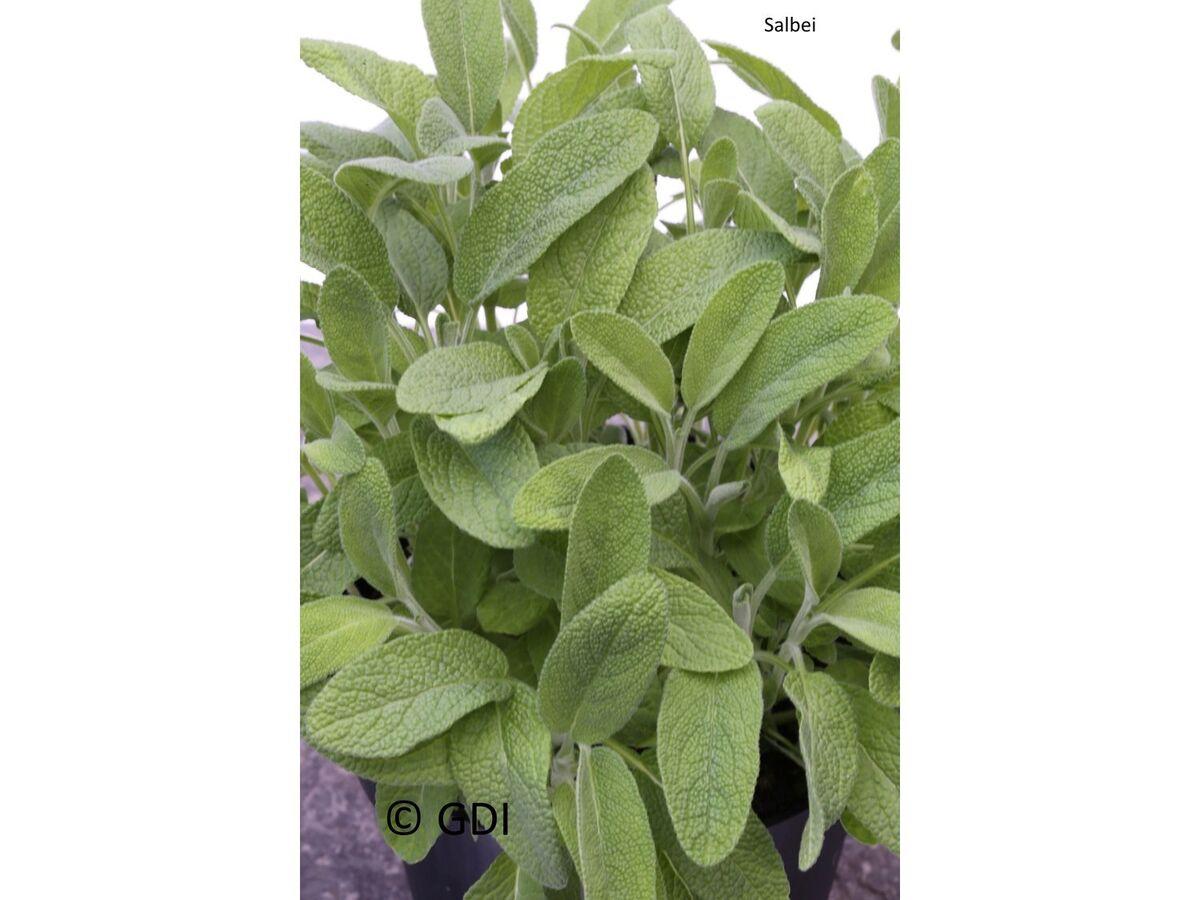 Bild 4 von Küchenkräuter-Kollektion, je 1 Pflanze Oregano, Schnittknoblauch, Salbei