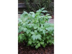 Liebstöckel ('Maggikraut'), 2 Pflanzen