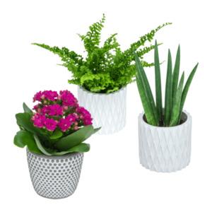 GARDEN FEELINGS     Minipflanze