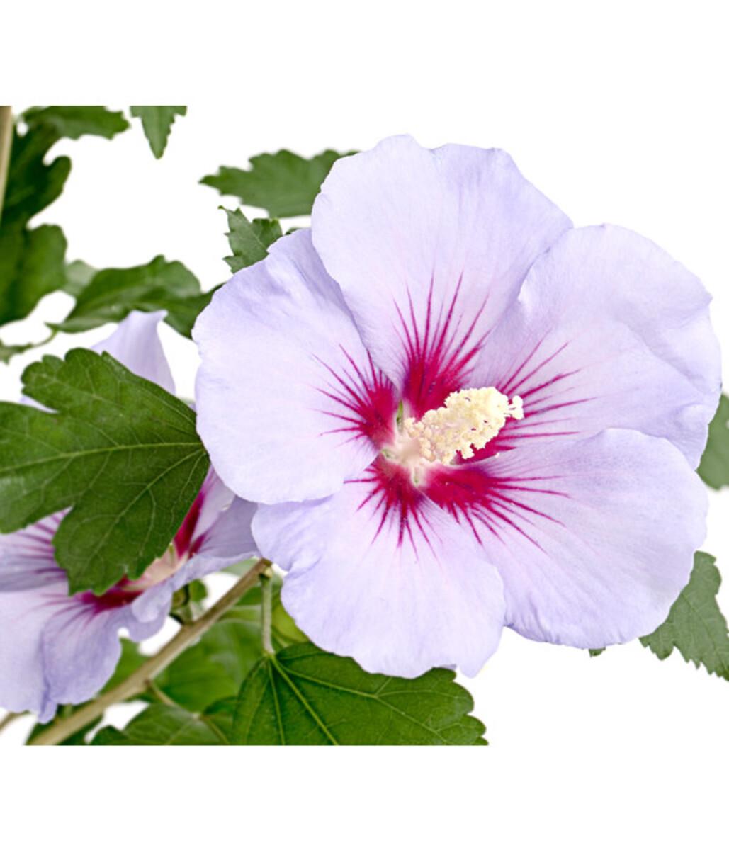 Bild 3 von Hibiskus - Garteneibisch, in Sorten