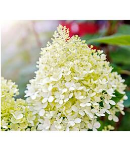 Rispen-Hortensie 'Limelight'