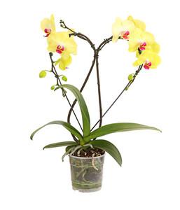 Schmetterlingsorchidee 'Heart'