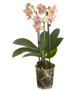 Duft-Schmetterlingsorchidee 'Liodoro'