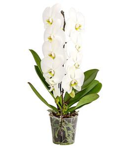 Schmetterlingsorchidee 'Formidablo'