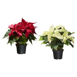 POINSETTIA                                Pflanze, Weihnachtsstern, 10.5 cm