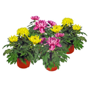 Chrysanthemen Mix