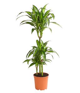 Drachenbaum 'Hawaiian Sunshine'