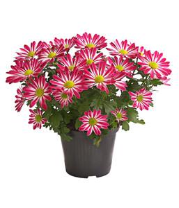 Chrysantheme 'Rainbow Candy'