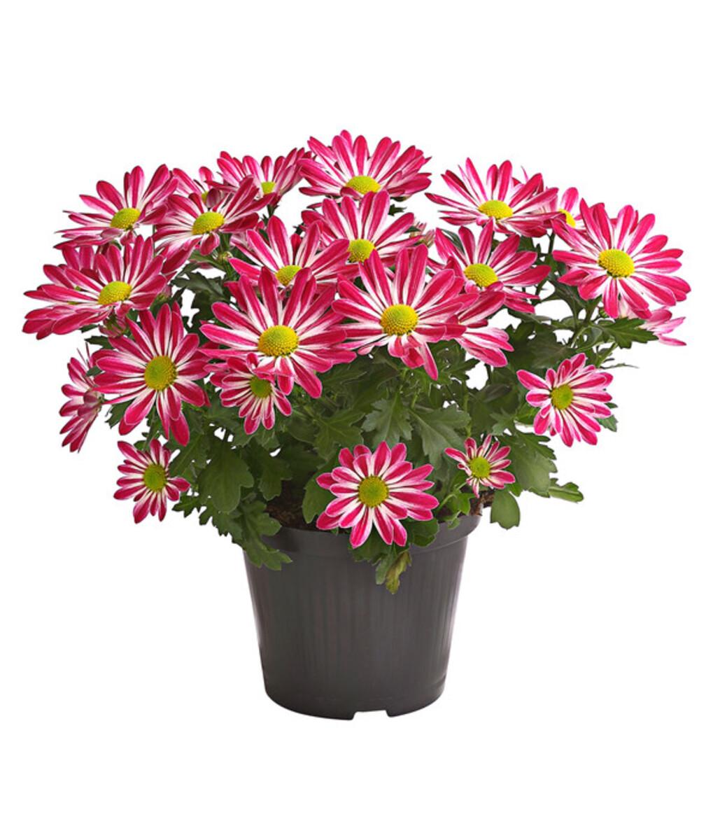 Bild 1 von Chrysantheme 'Rainbow Candy'