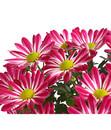 Bild 2 von Chrysantheme 'Rainbow Candy'