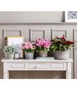 Bild 3 von Chrysantheme 'Rainbow Candy'