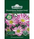 Bild 4 von Chrysantheme 'Rainbow Candy'