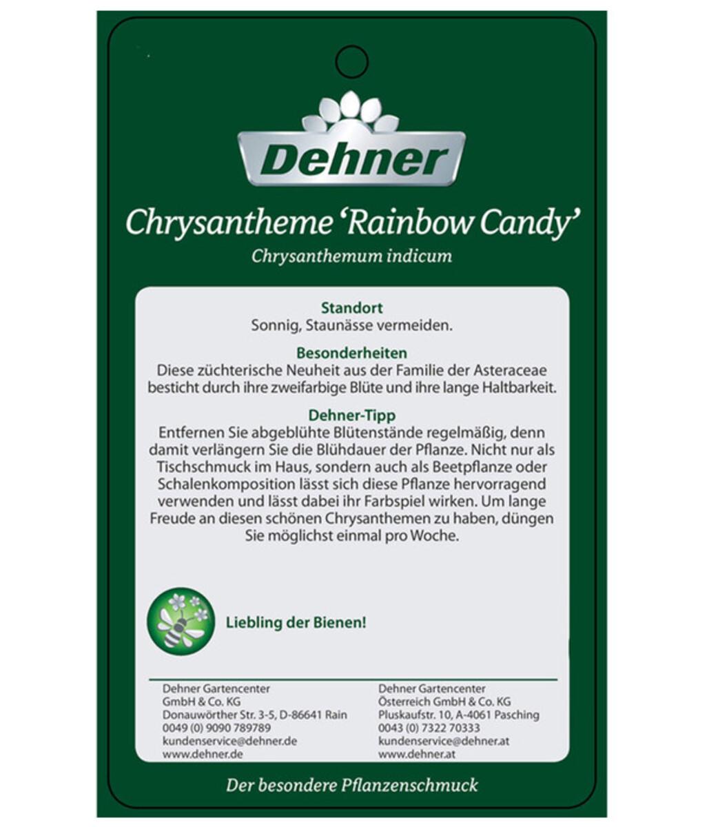 Bild 5 von Chrysantheme 'Rainbow Candy'