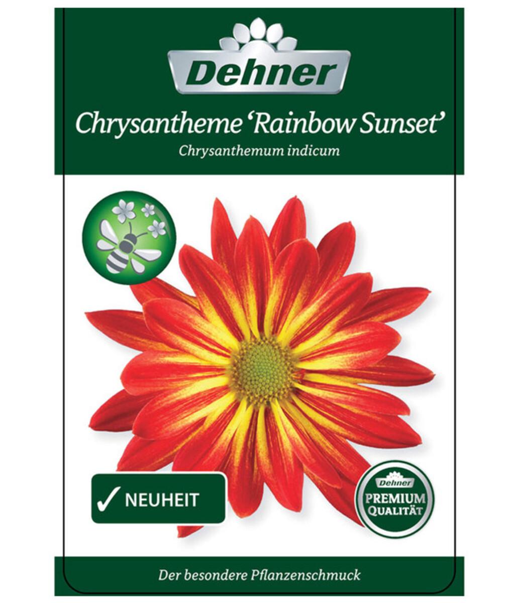 Bild 4 von Chrysantheme 'Rainbow Sunset'