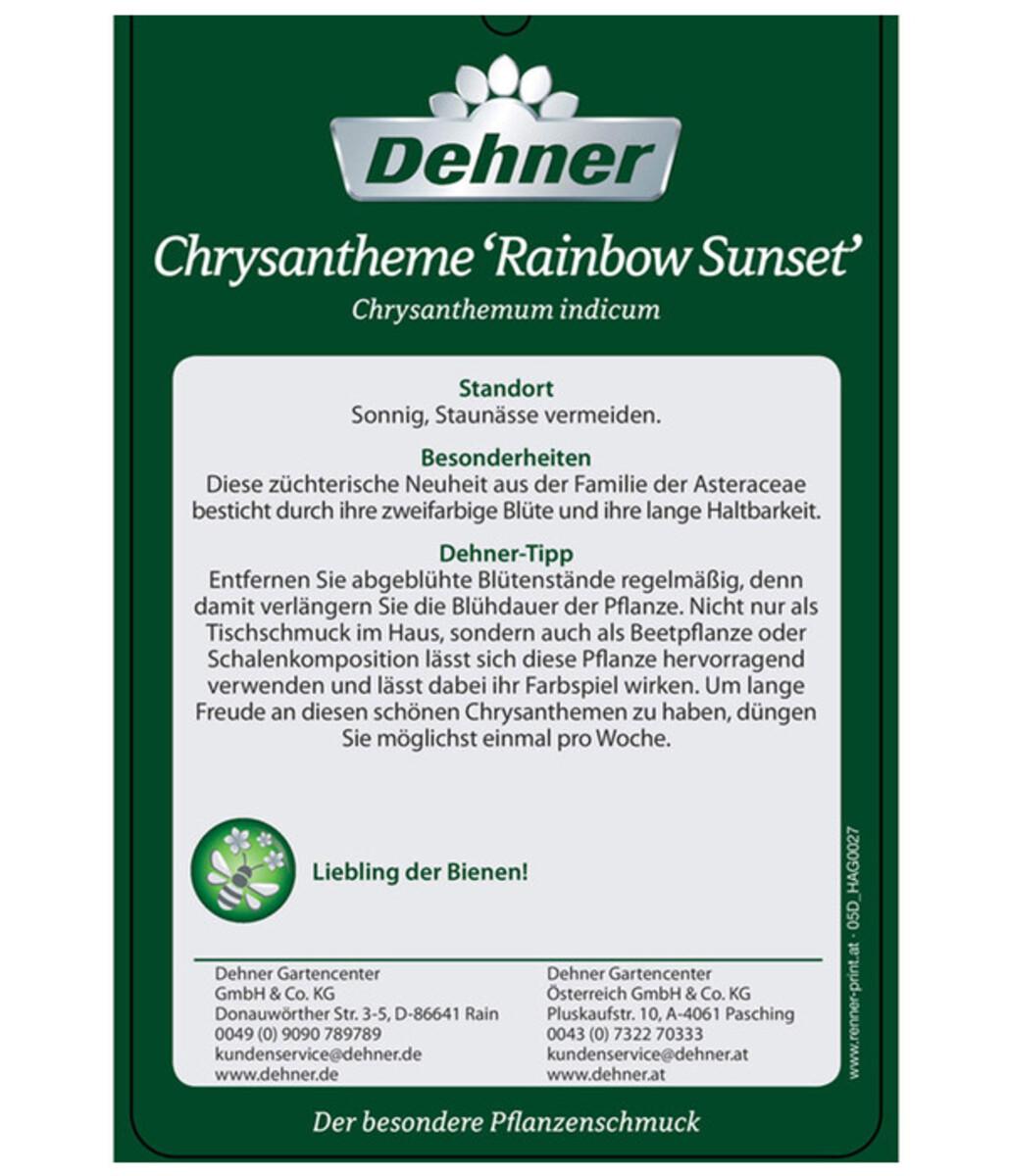 Bild 5 von Chrysantheme 'Rainbow Sunset'