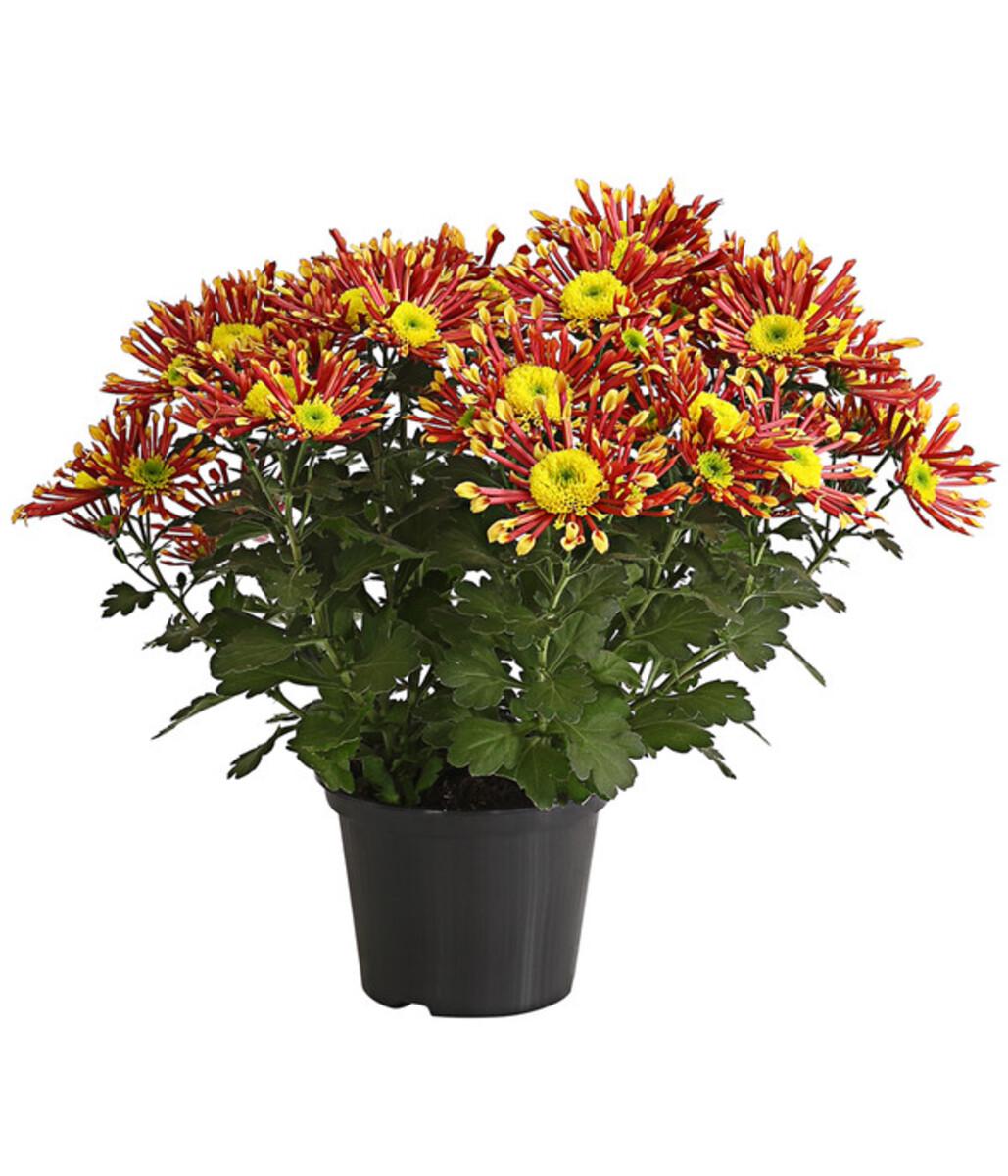 Bild 1 von Chrysantheme 'Splash Energy'