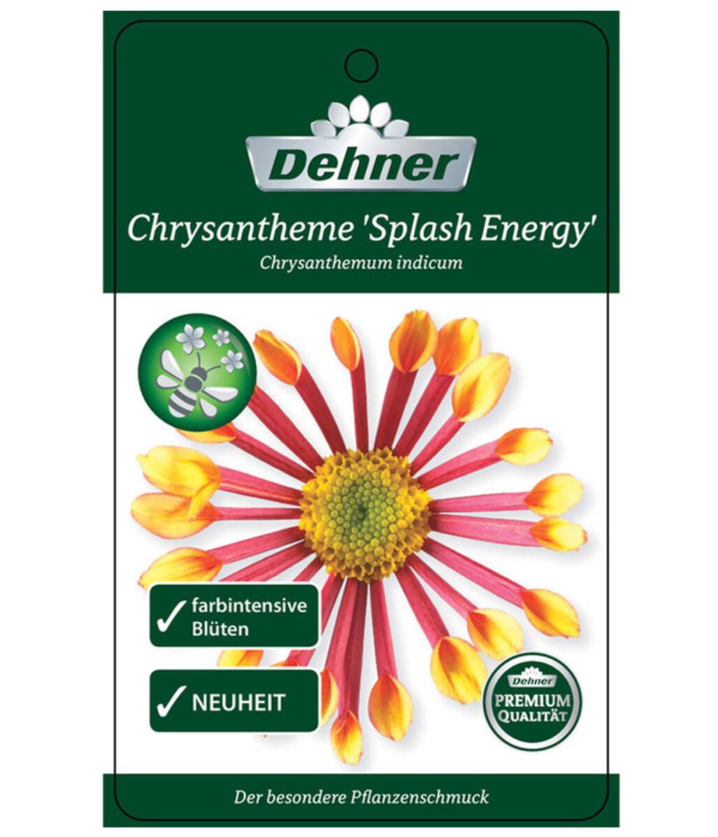Bild 3 von Chrysantheme 'Splash Energy'