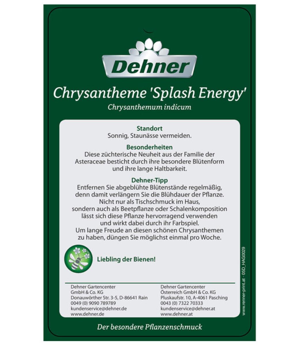 Bild 4 von Chrysantheme 'Splash Energy'