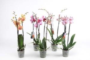 Orchidee ,  12 cm Topf, 2-Trieber