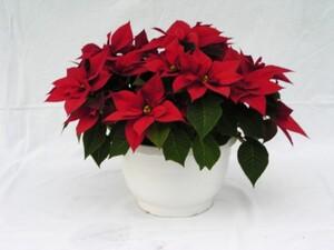 Weihnachtsstern 9-12 Brakteen ,  25 cm Ampeltopf