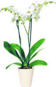 Orchidee  »Phalaenopsis«