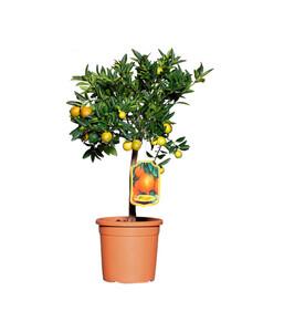 Citrus 'Kucle'