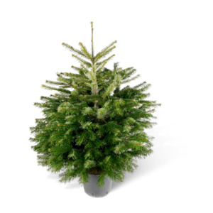 toom Fair Trees® Weihnachtsbaum Nordmanntanne topfgedrückt 100-125 cm