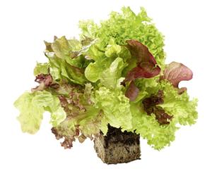 Bunter Salat mit Wurzelballen