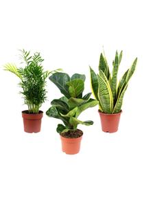 Pflanzenset max. Wuchshöhe: 120  cm, mehrjährig