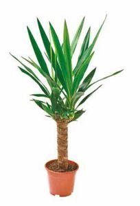 Yucca-Palme