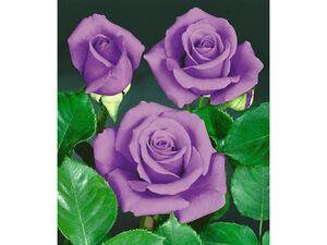Rose Blue Saphir-1 Pflanze