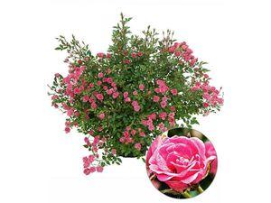 Lilly Rose® Wonder5,1 Pflanze