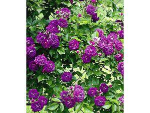 Rambler-Rosen 'Bleu Magenta', 1 Pflanze