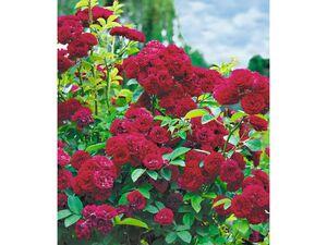 Rambler-Rosen 'Chevy Chase', 1 Pflanze