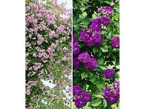 Rambler-Rosen-Kollektion blau und rosa,2 Pflanzen