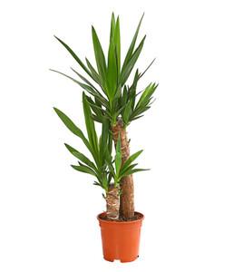 Yucca-Palme, 2er-Tuff