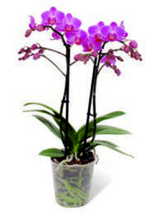 Orchidee »Multiflora«